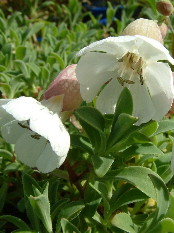 Oderings Garden Centre Perennial Silene Uniflora White Bells