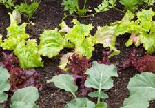 Vegetables, Seedlings